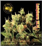 Ladyburn 1974 buy now feminized cannabis seeds in stock